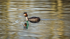 Crested Grebe vs Human Behavior (Franck Zumella) Tags: grebe crested huppe oiseau bird nature animal wildlife sauvage lac lake water eau reflection reflexion color couleur garbage