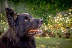 Kiara (danniearmstrong) Tags: belgium shepard dogs summer smiles