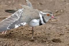 Three-banded Plover (Charadrius tricollaris) (berniedup) Tags: hluhluwe hluhluweimfolozi threebandedplover charadriustricollaris plover taxonomy:binomial=charadriustricollaris bird