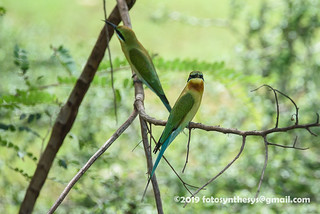 Blue-tailed Bee-eater (Merops philippinus) DSC_1002