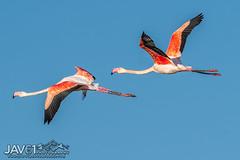 Greater flamingo (Phoenicopterus roseus)-3575 (George Vittman) Tags: red bird flamingo orange flight duo nikonpassion wildlifephotography jav61photography jav61