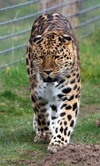 amur leopard (alpenfrankie) Tags: canon eos 750d animals ywp beautiful captive amur leopard mammal cat bigcat