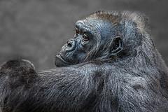 Tumba (Mel.Rick) Tags: zookrefeld zoo tiere animals säugetiere mammals gorillagorillagorilla gorilla gorillababy westlicherflachlandgorilla menschenaffen tumba