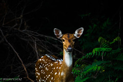 Deer-2 (BARUN DASH) Tags: gazelle adorable animal amaze alone adventure beauty beautiful bright cute cool d3400 dawn deer dim wild wildlife wow woods forest vivid vibrant vibe lovely look scenic serene sublime stare habitat impala nikon india mammal lady