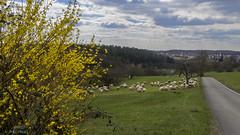 Flock of sheep near Hagelloch (KF-Photo) Tags: 169 gegenlicht gras hagelloch idyllebeihagelloch schafe schafherde sträschen weg heuberg