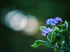 Forget me not (Łukasz Rawa) Tags: forgetmenot flowers flowerscolors foliage macro micro43 march garden dżudżugarden bokeh leaves depthoffield detail spring serene plants poland nature naturephotography olympus outdoor outside helios green closeup calm helios44m4