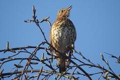 Song Thrush (blue33hibiscus) Tags: bird songthrush rspb hamwall naturereserve somerset