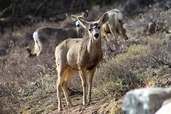Mule Deer (designsbykari) Tags: rockymountainnationalpark estespark deer elk magpie snow winter spring nature animals