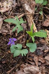 Viola palmata (Palmate Violet) (jimf_29605) Tags: violapalmata palmateviolet chestnutridgeheritagepreserve greenvillecounty southcarolina wildflowers sony a7rii 24240mm