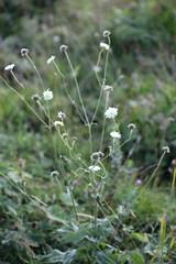 Knautia involucrata Lago-Naki July 2018 (Aidehua2013) Tags: knautia involucrata caprifoliaceae dipsacales plant flower lagonaki adygea maikopdistrict russia caucasus dipsacaceae