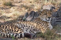 Cheetah resting (Tambako the Jaguar) Tags: cheetah big wild cat lying resting lounging portrait face grass dry safari lionsafaripark johannesburg southafrica nikon d5