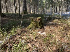Россия. Урал 2019. Russia. Ural 2019. (svv.david) Tags: россия урал 2019 russia ural spring heat green tree snow pine grass birch forest