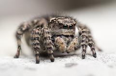 Asianellus festivus (Koch, 1834), female (Benjamin Fabian) Tags: asianellus festivus jumping spider spring spinne salticidae salticid araneae arthropod chelicerat cute close up portrait macro porträt sony 90mm