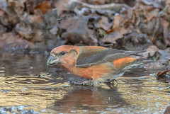 DSC2530  Crossbill.. (Jeff Lack Wildlife&Nature) Tags: crossbill crossbills redcrossbill commoncrossbill birds avian animal animals wildlife wildbirds woodlands wildlifephotography jefflackphotography pines pineforest forest trees forestofdean forestry countryside nature