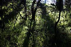 streaming (eeblet) Tags: light sunlight streaming joaquin miller park oakland live oaks