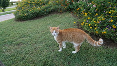 2015-09-20_18-10-35_ILCE-6000_DSC00279 (Miguel Discart (Photos Vrac)) Tags: 2015 24mm animal animalphotography animals animalsupclose animaux cat cats chat chats colakli e1670mmf4zaoss focallength24mm focallengthin35mmformat24mm holiday hotel ilce6000 iso250 kamelya kamelyaworld nature naturephotography pet sony sonyilce6000 sonyilce6000e1670mmf4zaoss summer turkey turquie vacance vacation