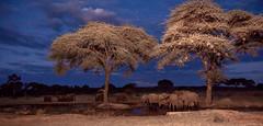 Moment under the Trees _6698 (hkoons) Tags: chobenationalpark senyaticamp southernafrica africa botswana caprivi elephant kasane animal animals beast ears fur grass grasses grazing herbivore horns jungle landscape mamal mammal outdoors outside pachyderm panorama shrub sunshine trees trunk tusks water waterhole
