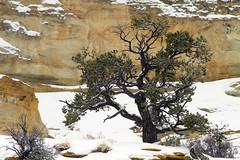 Struggling Pine (arbyreed) Tags: arbyreed tree snow winter pine pinionpine ghostrock sanrafaelswell emerycountyutah cold sandstone