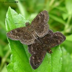 Staphylus vulgata (LPJC) Tags: quebradagarza panama 2018 lpjc butterfly staphylusvulgata skipper