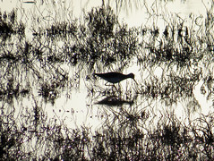 Palustrine wetland and Black-necked Stilt (stonebird) Tags: blackneckedstilt glimmering palustrinewetland ballonawetlandsecologicalreserve areab february img7638