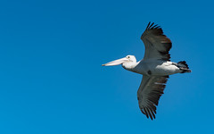 Pelican in Flight (Merrillie) Tags: woywoy waterfront bills nature water birds newsouthwales nsw brisbanewater flying wildlife feathers flight australia coastal wings outdoors animals fauna centralcoast bay pelican