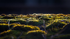 A mossy spring sunset... (.: mike | MKvip Beauty :.) Tags: sony⍺6000 sonyilce6000 sonyalpha6000 sonyalpha sony alpha emount ⍺6000 ilce6000 canonfd35~105mmƒ35macro canonnfd35~105mmƒ35macro canonnewfd35~105mmƒ35ma canonfd canonnfd canon vintagelens vintageprime primelens prime manuallens manual manualondigital manualfocusing manualexposure closeup macro makro wideanglemacro wideopen availablelight naturallight backlight backlighting sunset sunsetlight shallowdof bokeh bokehlicious beyondbokeh extremebokeh smoothbokeh moss spring wörthamrhein germany europe mth mkvip canonnewfd35~105mmƒ35macro ngc npc