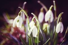 la belle saison (***étoile filante***) Tags: flowers blumen schneeglöckchen snowdrops nature natur light licht sunny sonnig sonnenschein sunlight beauty schönheit poetic pentax bokehlicious bokeh spring frühling