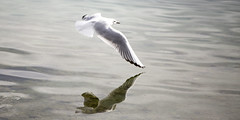 Close to the water (Traveller_40) Tags: möven tutzing walkwithfriends wasser water reflection seagul starnbergersee
