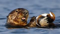 Sea Otter with Clam (gainesp2003) Tags: sea otter clam food eating moss landing ca california wildlife pacific ocean marine cute fun