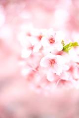 P1040205 (Keishi Etoh rough-and-ready photoglaph) Tags: panasonic lumix gx7 panasoniclumixgx7 dmcgx7 panasonicdmcgx7 microfourthirds voigtländernokton25mmf095 voigtländer cosina 50mm mf manualfocuslens primelens fixedfocallengthlens 単焦点 mft flower