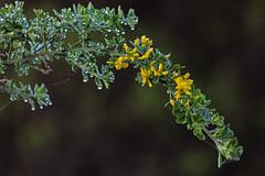 Baquiano Trail. Pacifica, CA. (j1985w) Tags: pacifica california sweenyridge rain droplet bush flower