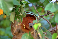 Proboscis monkey, Bako National Park (_JLC_) Tags: bako bakonationalpark borneo kuching sarawak malasia malaysia asia sudesteasiático naturaleza nature fantasticnature fauna wildlife mono mononarigudo nasalislarvatus proboscismonkey proboscis monkey selva jungla jungle forest árboles tree canon canon6d eos 6d 70200f4is 70200