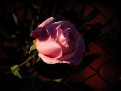 Per tutte le donne (fotomie2009) Tags: international womens day iwd woman giornata internazionale della donna festa rose rosa flora flower fiore pink light dark background