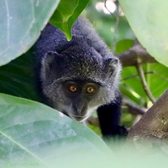 Zanzibar Jozani Forest (cheryl c) Tags: redcolobus zanzibar jozani monkey