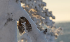 Taking Off (MrBlackSun) Tags: winter forest finland kuusamo nikon d850 bird birds birdlover kuusamonaturephotography nature photography