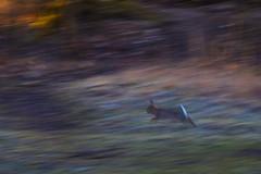 Feldhase in der Garchinger Heide (butchinsky) Tags: bayern butchinsky helmutschmid hirsche januar munich münchen naturfotografie rehe schmid schmidhelmut urheberrechtlichgeschütztesmaterial vögel winter