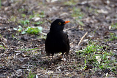Just Resting (kaprysnamorela) Tags: blackbird black ground grass beak eye nikond3300