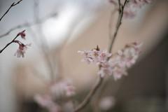 sakura_57 (gnsk) Tags: voightlander nokton 50mm f11 cosina japan dof bokeh cherry blossom ilce7rm2 α7rⅱ a7rⅱ