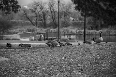 Canadian geese searching through the fall leaves, in front of Faversham Lake, in black and white. Taken on 10-30-18, at Faversham Park in Westminster, Colorado.  ~ ~ ~ ~ ~  #CanonRebelT5 #Canon #Rebel #T5 F/5.6 135mm 1/250s ISO-100 #Canadiangeese #falllea (oooshinyphotography) Tags: canadiangeese westminster favershamlake geese canonrebelt5 birdcaptures naturephotography birds fallleaves coloradoshared coloradotography canon oooshiny blackandwhite fall leaves colorado bnwcaptures blackandwhitephotography t5 rebel nature bnw coloradocreative favershampark oooshinyphotography viewcolorado bnwphotography autumn coloradocollective