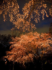 Fireworks-style night sakura (sapphire_rouge) Tags: 駒込 六義園 文京区 桜 枝垂桜 日本庭園 照明 komagome rikugien bunkyouku cherry 夜桜 blossom blossoms weepingcherry shidarezakura illuminated illumination garden japanesegarden spring ngc