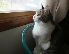 Birdwatching (pirate johnny) Tags: buffy cat caturday