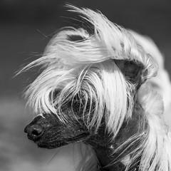 hairstyle 2019 (Blende1.8) Tags: greyhound greyhounds windhund windhunde langhaar longhairgreyhound monochrome mono monochrom dog dogs dogportrait portrait outdoor pet pets sony alpha ilce7m3 a7iii a7m3 sel100400g 100400mm telephoto teleobjektiv emount
