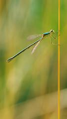 Chalcolestes Viridis (Visual Stripes) Tags: dragonfly odonata insect invertebrate sigma105mm macro panasoniclumixg1 microfourthirds mft m43 handheld nois nature bokeh f35