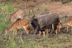 Nialas (ik_kil) Tags: niala antelope nyala tragelaphusangasii mkhuzegamereserve kwazulunatal southafrica