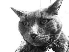 Profoundly Happy (sjrankin) Tags: 7january2019 edited animal cat bonkers grayscale closeup tunic bed bedroom kitahiroshima hokkaido japan