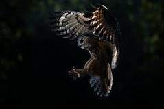 eagle owl (nusainda) Tags: owl eagleowl birdsinflight birdsofprey sunset netherlands