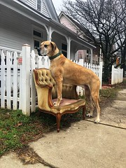 13/365 (moke076) Tags: 2019 365 project 365project project365 oneaday photoaday mobile cell cellphone iphone great dane dog animal pet fawn moose chair velvet old antique sidewalk trash garbage junk picket fence cabbagetown atlanta ga