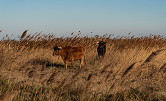 Camargue, Chemin de Gageron (jacqueline.poggi) Tags: arles bouchesdurhône camargue france parcnaturelrégionaldecamargue provence réservenaturelledecamargue salindegiraud bull taureau
