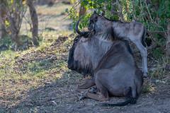 Blaue Gnus / Blue Wildebeests (brainstorm1984) Tags: antelope antelopes antilope blauegnus blauesgnu bluewildebeest bluewildebeests botswana calf chobe chobenationalpark connochaetes connochaetestaurinus desertdeltasafaris elangeniafricanadventures gamedrive gnu gnus kalb safari savagekingdom savute savutegamereserve savutesafarilodge savuti savutichannel savutigamereserve savutimarsh streifengnu streifengnus wildebeest wildebeests wildlife