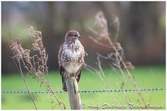 Common Buzzard (www.andystuthridgenatureimages.co.uk) Tags: buzzard common buteo hawk raptor bird birdofprey perch post fence tree field wild